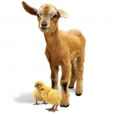 Goat_2_Chickens_D4041317