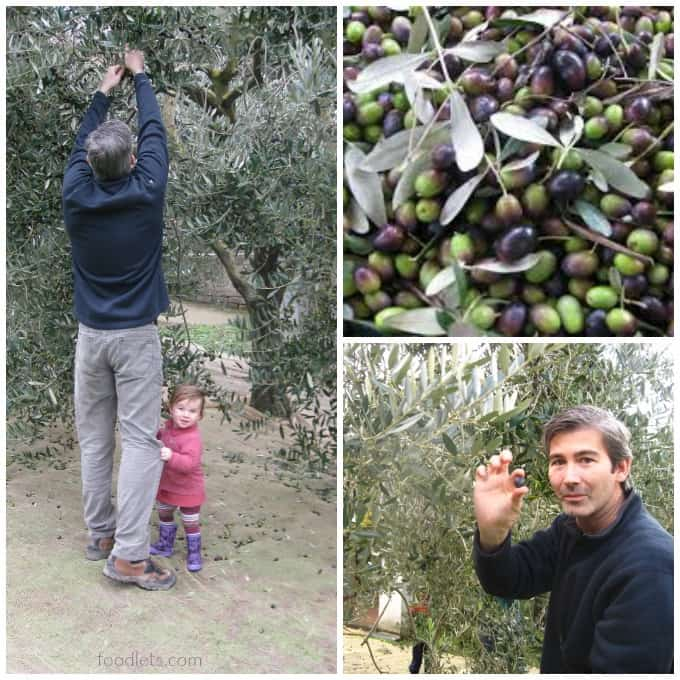 picking olives in italy