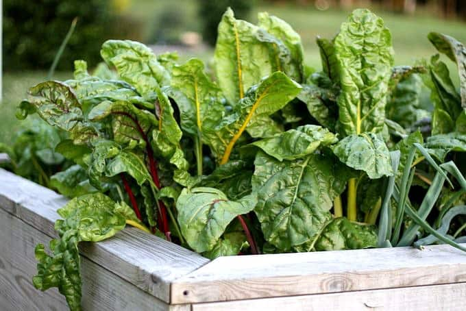 swiss chard in double raised beds